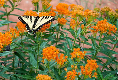 Swallow Tail and Milkweed