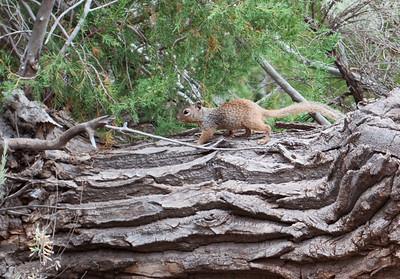 Rock Squirrel