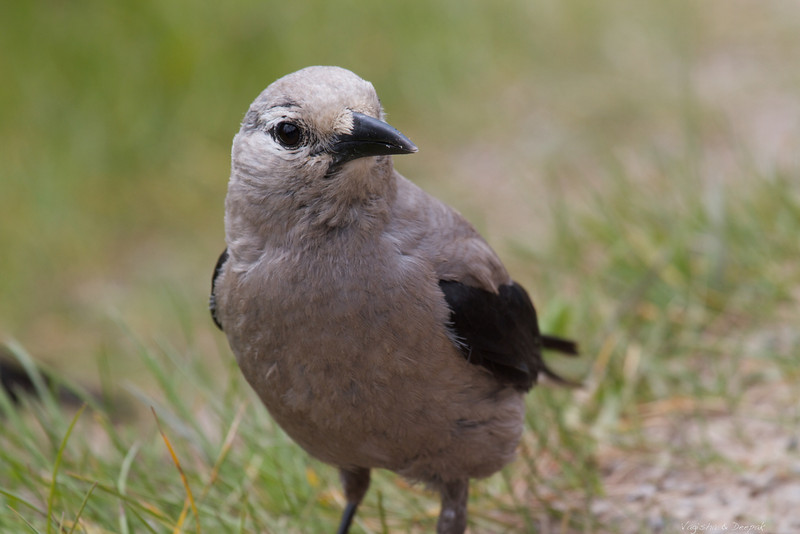 IMAGE: http://photos.deepaksingh.net/Vacation/banff2012/i-WqqG9Qf/0/L/Grey-Jay-L.jpg
