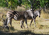 Our very first Moremi zebras. We were to see many!