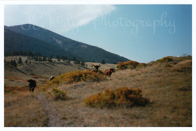Steer at Eatons' Ranch, Wolf, Wyoming - Big Horn Mountains