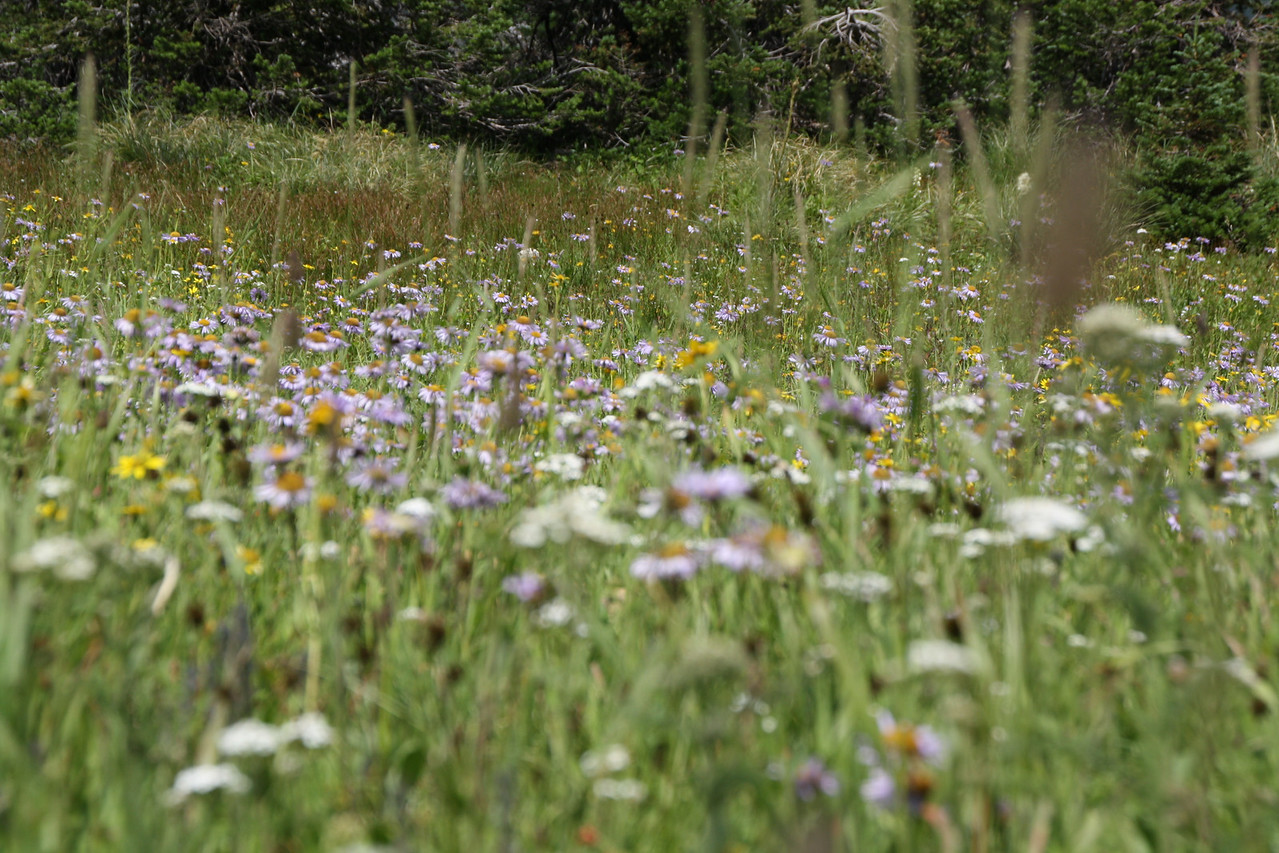 Glacier, MT-RedBus Tour Sights.  Wild flowers were blooming everywhere, after having had a wonderful cool and wet summer.  Rain just the previous week also helped.