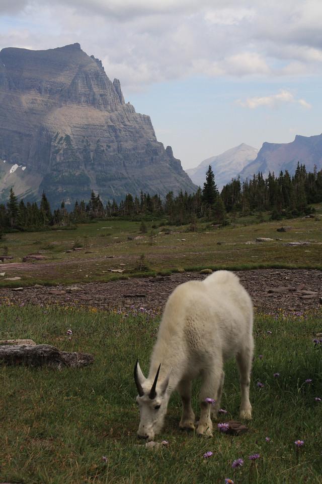 Glacier Park - Logan Pass structures. Mountain Goats     8-2009