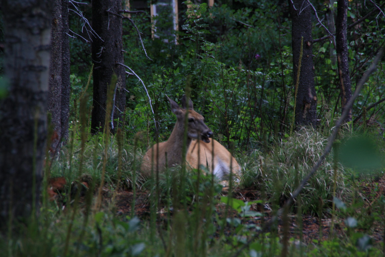 Glacer Park - Near Swiftcurrent Lake.  8-2009  Doe, A Deer, A Female Deer.......