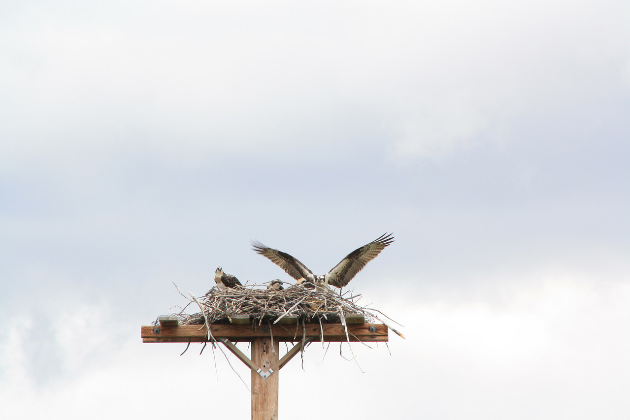 Glacier Park, MT   St. Mary's Visitor Center views of Osprey nest, three chicks and parent.  8-2009