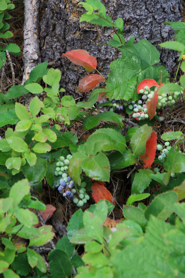 Glacer Park - Huckleberries or Oregon Grape near Swiftcurrent Lake.  8-2009