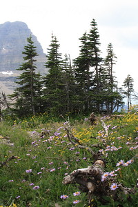 Glacier Park - Logan Pass structures.  Purple Aster, Greenthread (yellow) and Los Alamos Buttercup.  8-2009