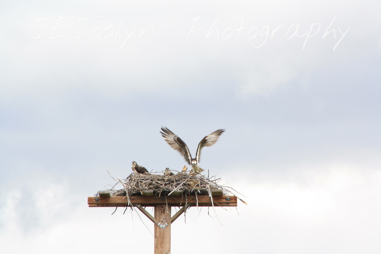 Glacier Park - Osprey feeding three chicks a fish, while I was at St. Mary's Visitor Center waiting for a shuttle.  8-2009