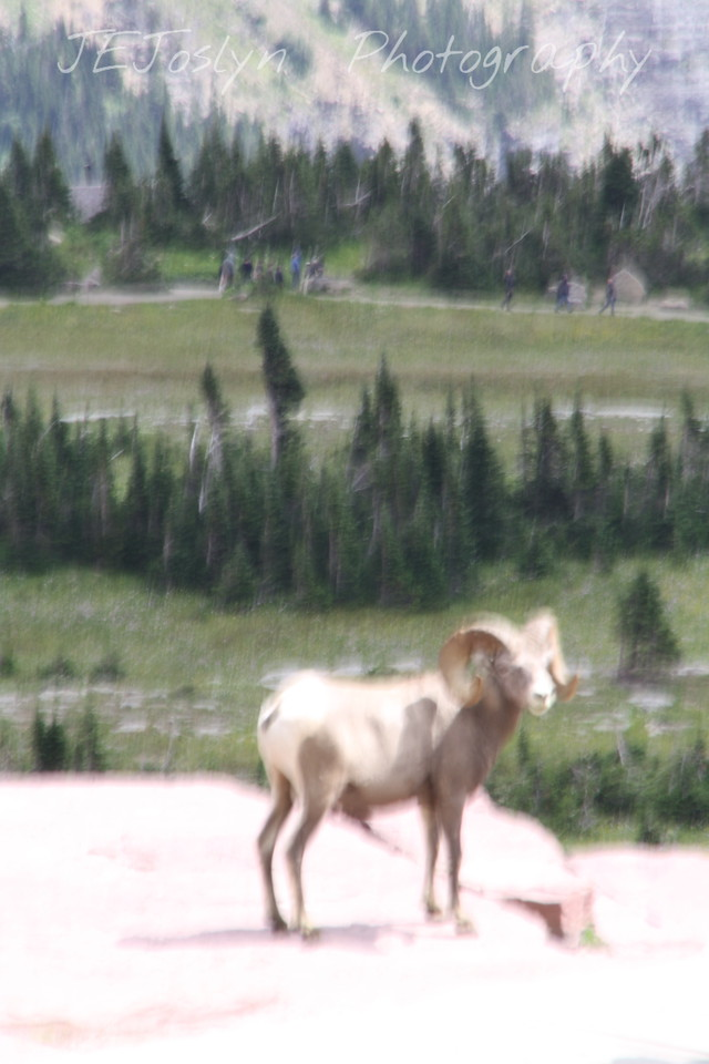 Glacier Park - Logan Pass structures.   My artistic view of a Big Horn Sheep - truly he was right there, no long lense required.  8-2009