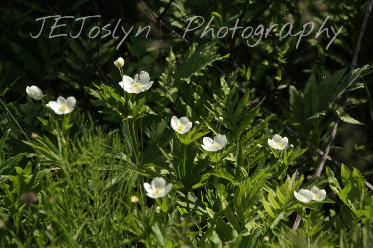 Canada Anemone (A. canadensis) - Upper/lower Michigan, bicycle trip with Cousins and Friends, including the Mackinac Island.  Trail from Indian river to Mackinac City.