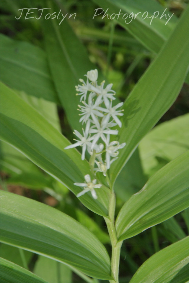 Star-Flowered False Solomon's Seal (S. stellata) - Upper/lower Michigan, bicycle trip with Cousins and Friends, this is at Mackinac Island.