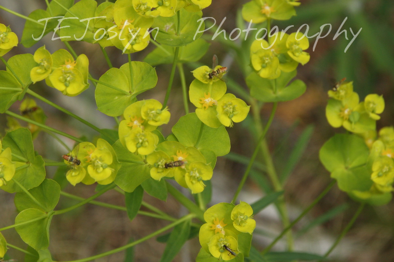 Leafy Spurge - Upper/lower Michigan, bicycle trip with Cousins and Friends, including the Mackinac Island.