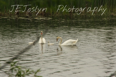 Mute Swans, Alpena, MI - Upper/lower Michigan, bicycle trip with Cousins and Friends, including the Mackinac Island.
