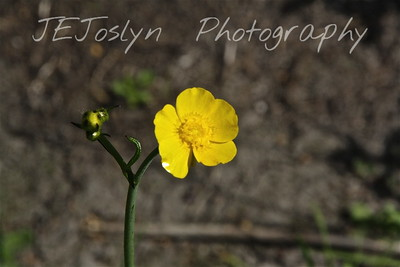 Tall Buttercup (R. acris) - Upper/lower Michigan, bicycle trip with Cousins and Friends, this is at Mackinac Island..