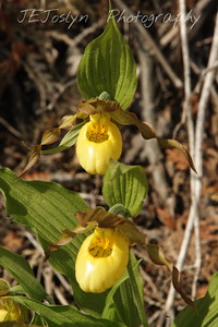 Yellow Lady-slipper (C. calceolus) - Upper/lower Michigan, bicycle trip with Cousins and Friends, including the Mackinac Island. This is at Mackinac Island.