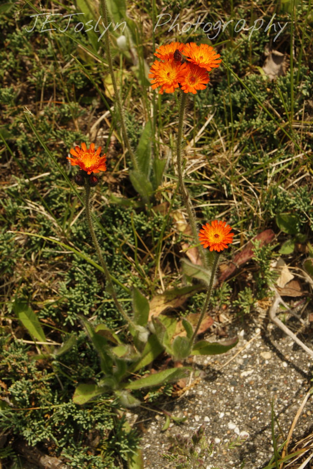 Orange Hawkweed (H. Aurantiacum) - Upper/lower Michigan, bicycle trip with Cousins and Friends, including the Mackinac Island.