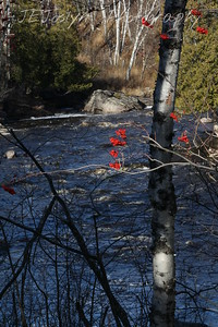 Gunflint Trail area, Minnesota, Temperance River.  October 30, 2009  Shinning RED Mountain Ash Berries.