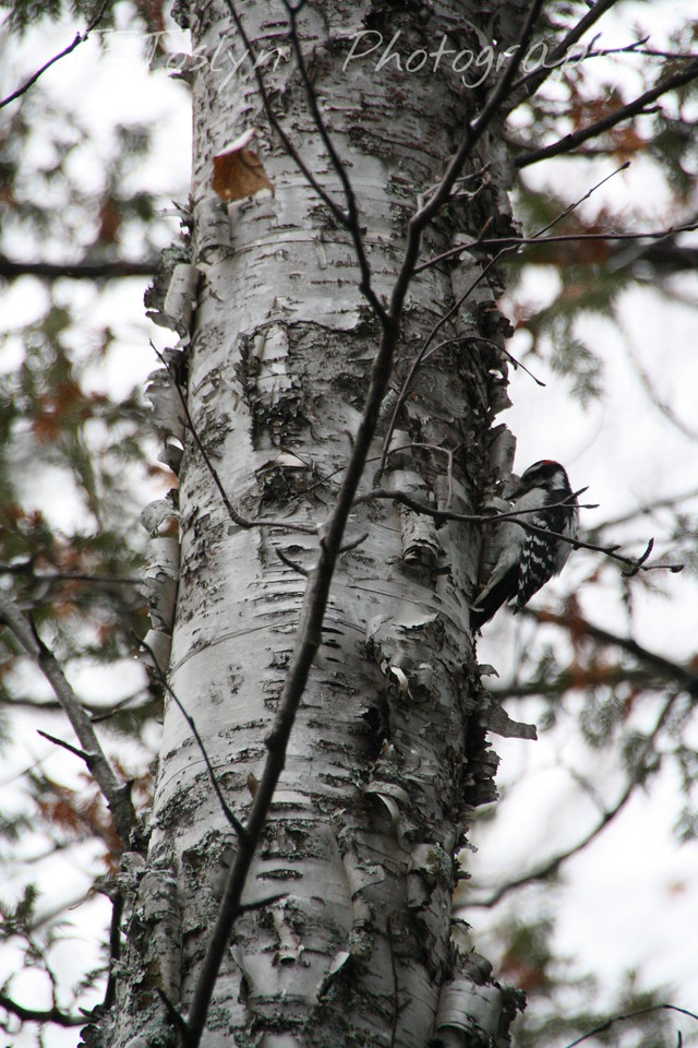 Gunflint Trail and Lodge area, Minnesota  October 30, 2009  Downy Woodpecker