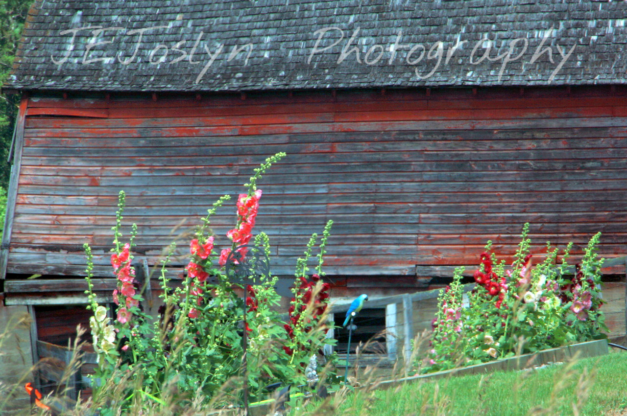 Barn falling down, still decorated with Holly Hocks