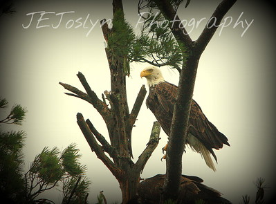 Eagle on nest at Campers Paradise, Nevis