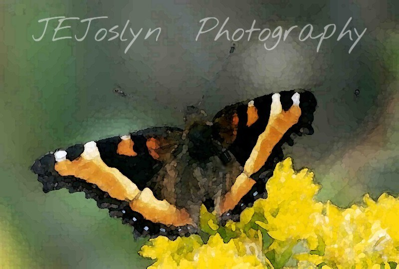 Milbert Tortoise Shell Butterfly, many found in Old Mill State Park, Minnesota, outside of Argile, northwest Minnesota.   Water Color Effect to Scanned Photo.