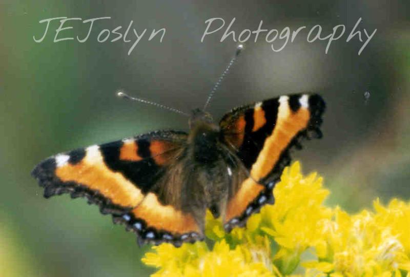 Butterfly - Milbert Tortoise Shell