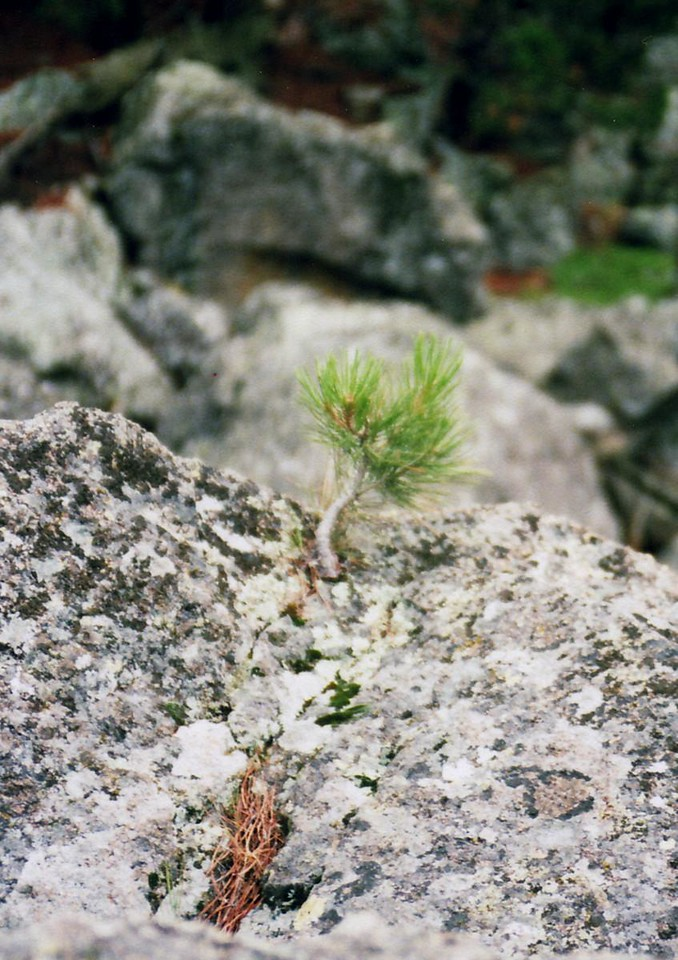This is a Baby Lodge Pole Pine, isn't he cute?  And one wonders how old this little guy is, and how do they survive being this little.