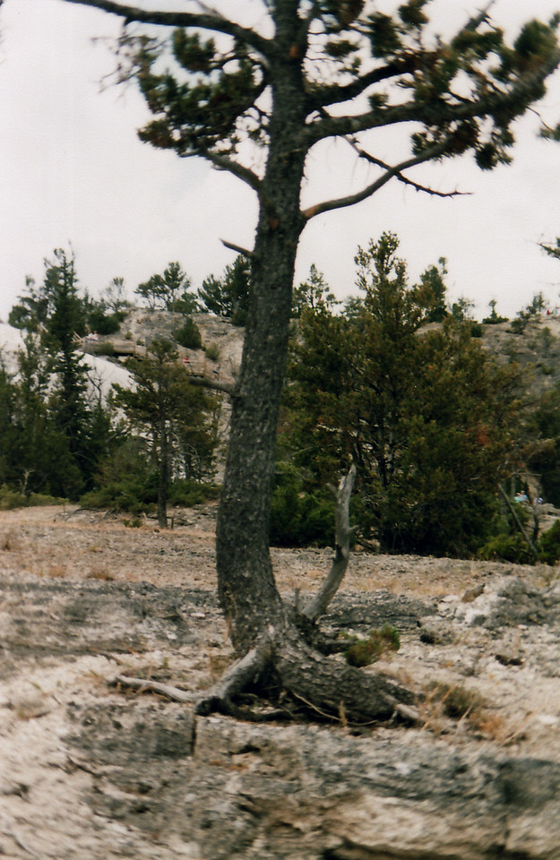 Lodge Pole Pine trying to survive in Mammoth Hot Springs.