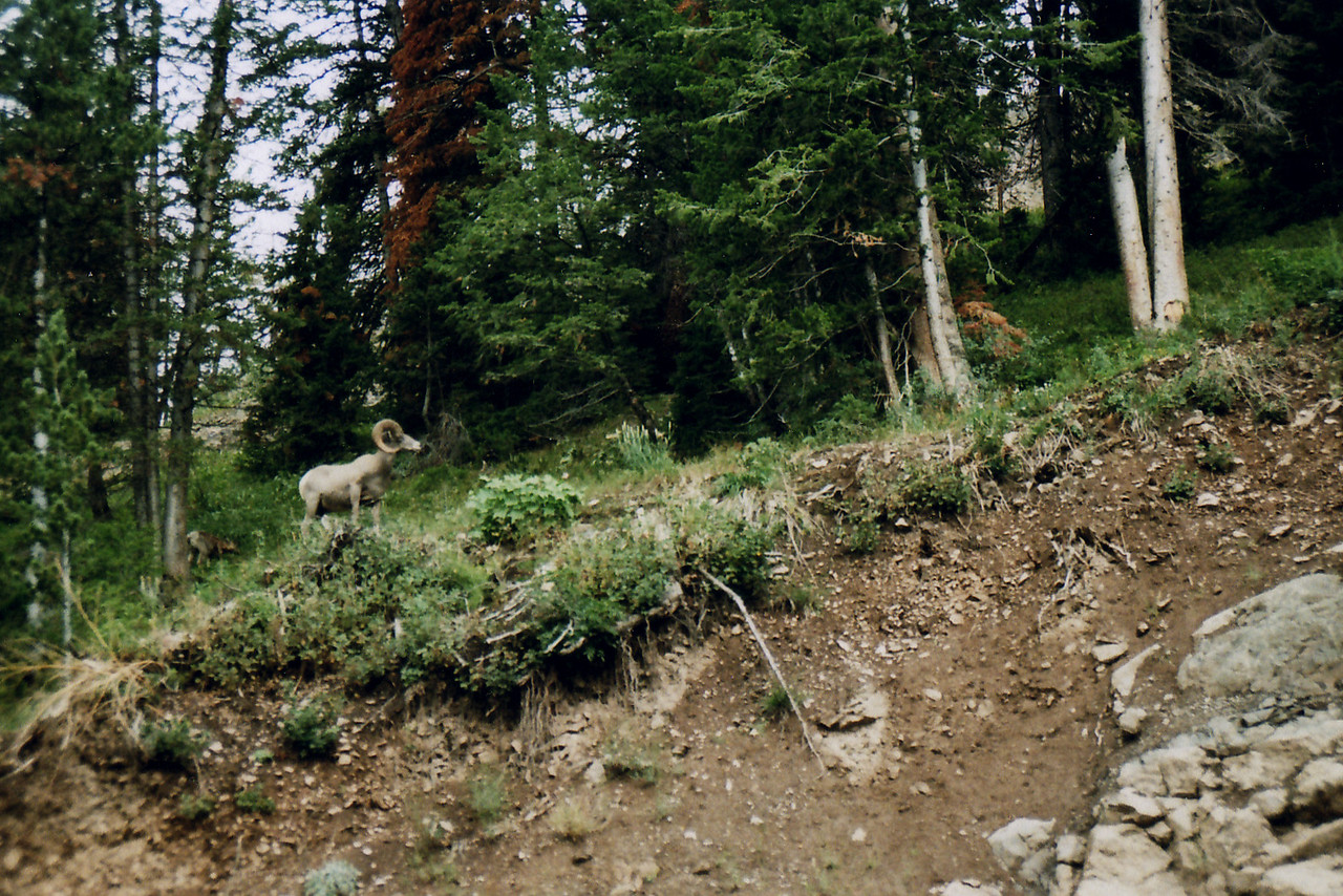 Big Horn Sheep - watched us as we left the park, via the East Entrance road.
