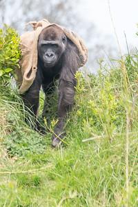 Dublin Zoo Gorilla