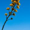 Ocotillo, Visitor Center, Anza-Borrego Desert State Park