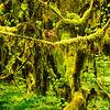 Olympic National Park, Washington, Hoy Rain Forest, Hall of Mosses Trail