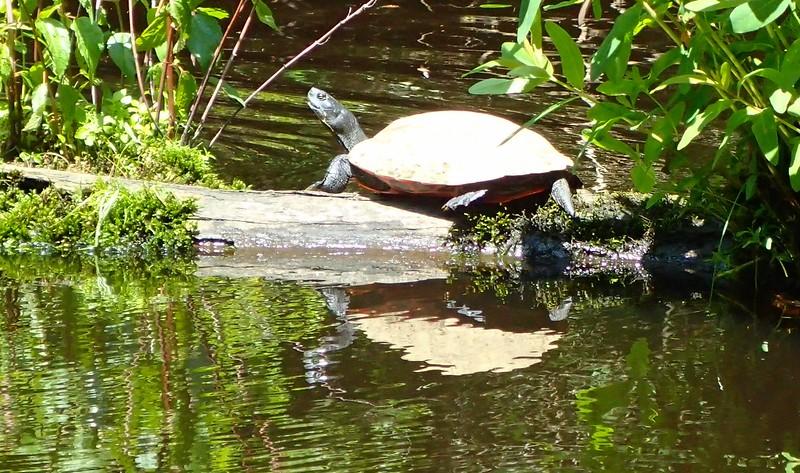 Pocomoke State Park, MD, Turtle enjoying the day as we kayak by.