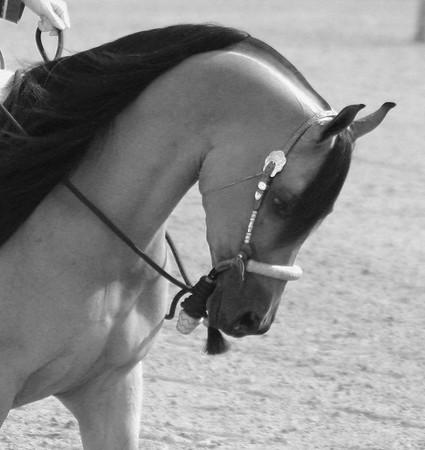 Arabian horse show011 black and white