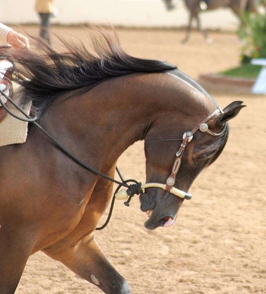 Arabian horse show008