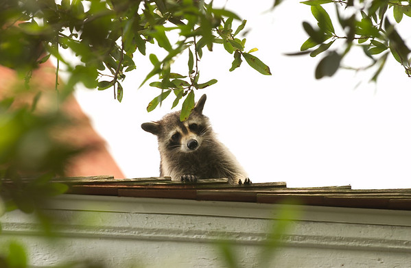 lighthouse raccoon 2