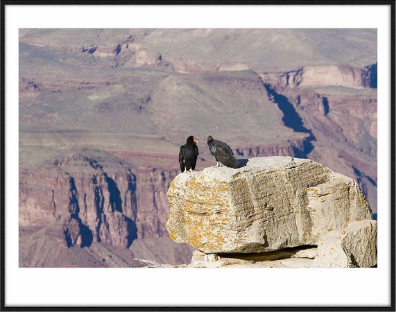California Condors, almost extinct but are starting to come back in the Grand Canyon