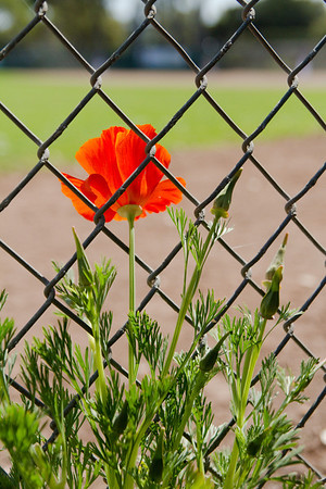 Poppy sticking through the fence