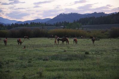 Elk at Sunrise along Teton Park Road
