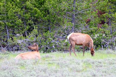 Elk Along Jenny Lake Road