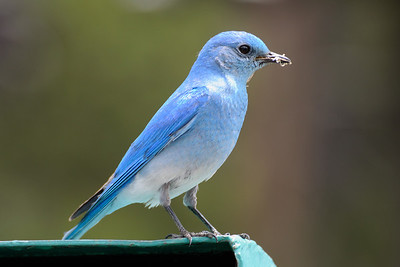 Mountain Bluebird at Norris Campground