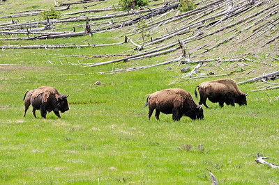 Bison along Grand Loop Road
