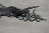 Marine iguanas conserving heat