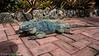 The blue iguana poses