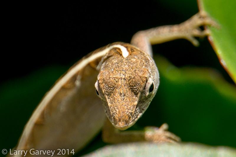 A gecko looks on