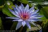 A waterlily gathering sun