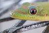 Gecko up close