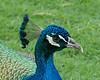 Peacock close-up