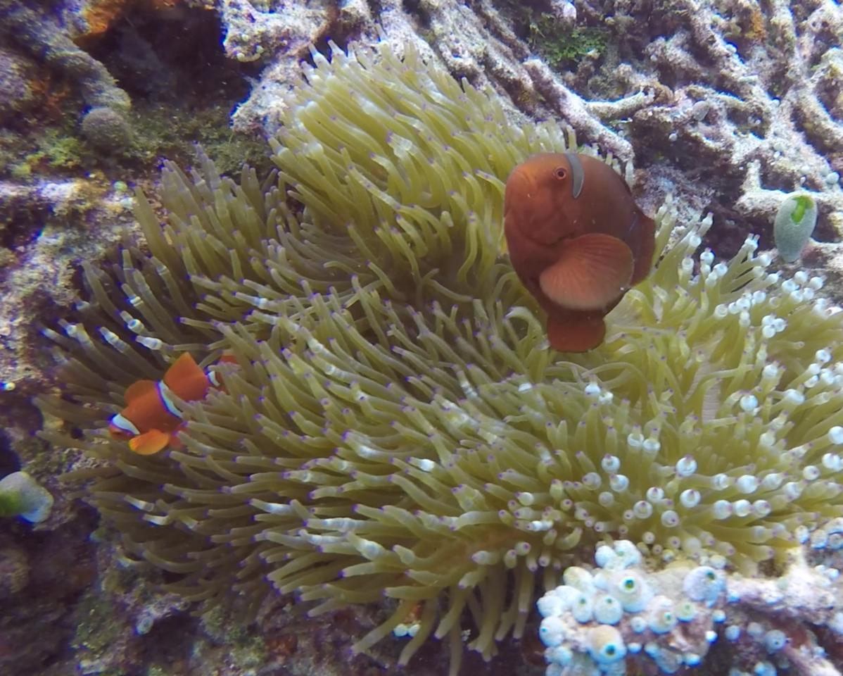 Clownfish protecting its sea anemone