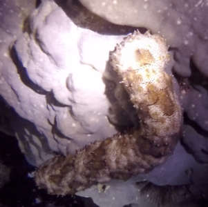 Sea cucumber seen during a night dive